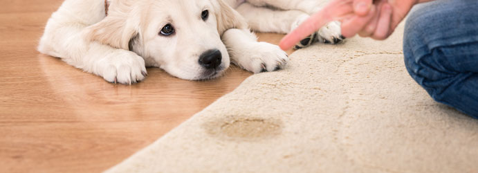 Dog Urine Stain Removal on Carpet